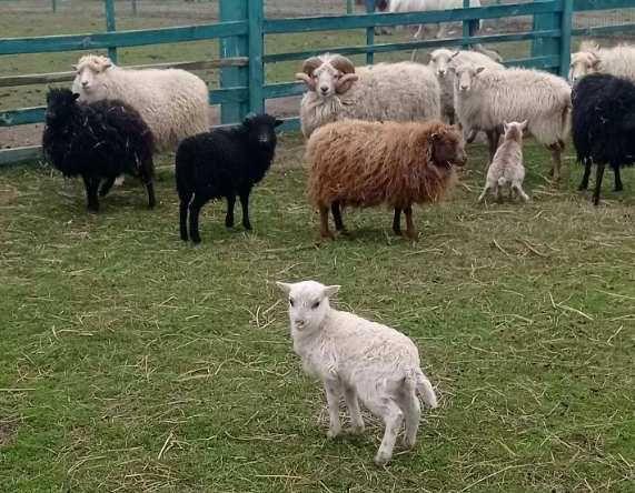 Карликовая овца Уэссан (Ovis aries Quessant)