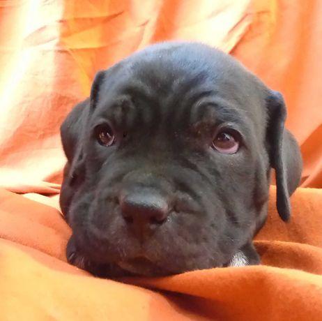 Чистокровні собачки Кане Корсо