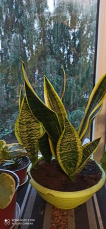 Сансивьерия  готовое растение