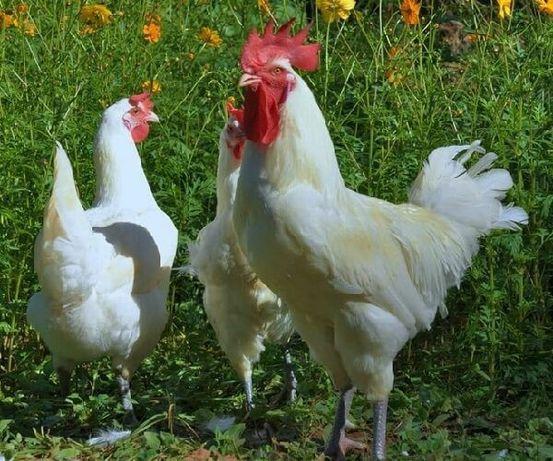Ломан Браун курочки бройлер Доминант цыплята куры несушки