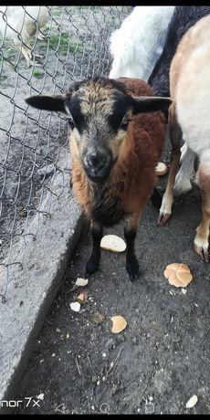 Owieczka miniaturka Quassant *czysta rasa*
