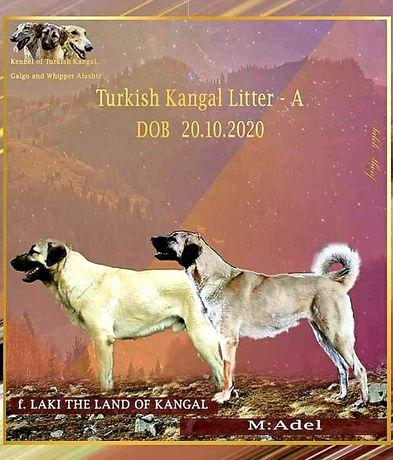 Турецкий Кангал щенки