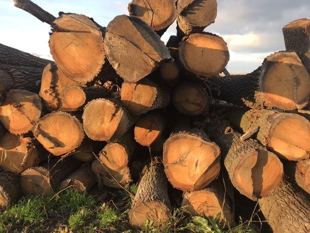 Drzewo dąb dłużyca tarczane