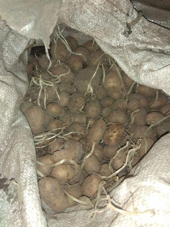 Дрібна домашня картопля
