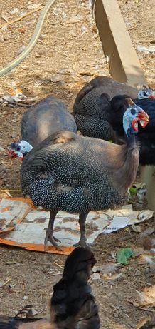 Vendo galinhas de angola