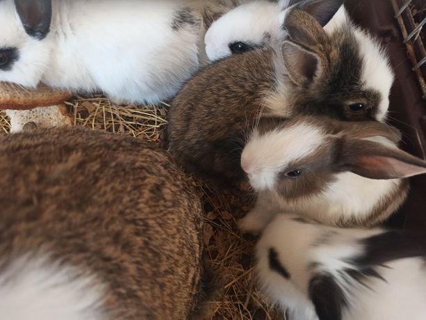 Sprzedam króliczki