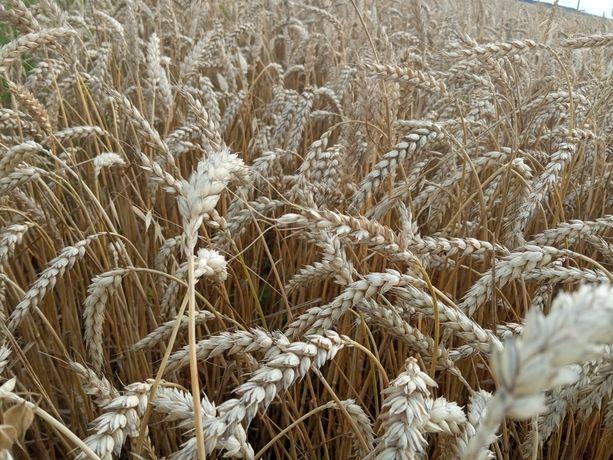 Пшениця        .