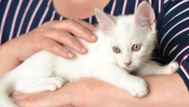 Маленький Бєлкін (1,5міс) шукає родину. Біле кошеня, котик, кіт