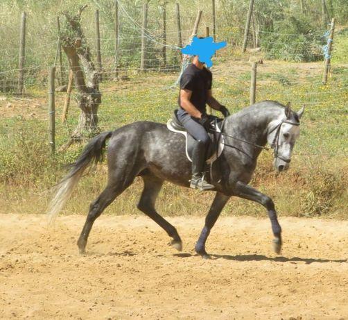 Cavalo Lusitano com 5 anos