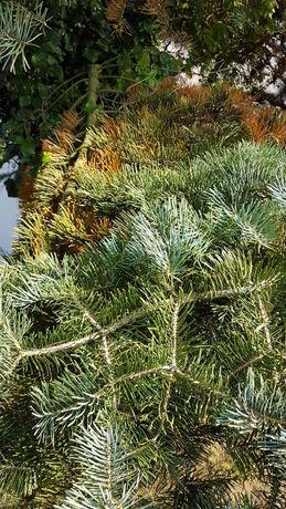 Gałęzie od 25 letniej jodły oddam za darmo.