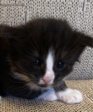 Kocurek norweski leśny kot 100% kota norweskiego