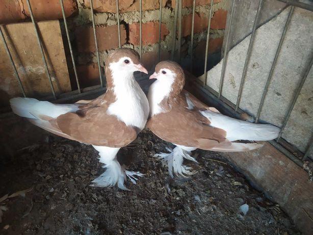 Продаються голуби лахори