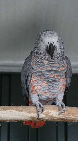 Venda de papagaios cinzentos