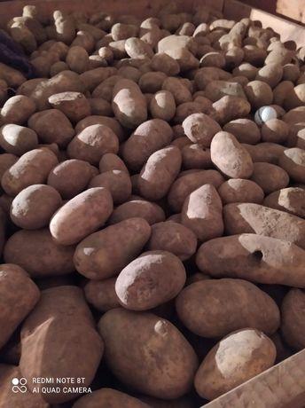 Ziemniaki opasowe