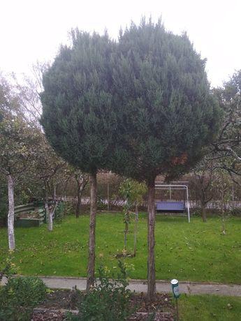 Drzewa ozdobne wysokie