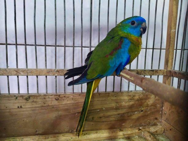 Продам травяного лазурного попугая