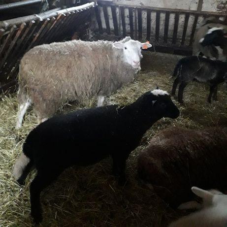 Owce- baranek Dorper. Posiadam transpor.