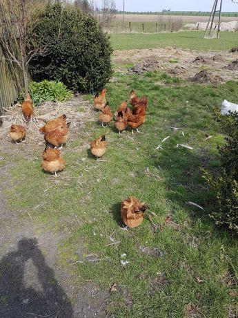Jaja wiejskie z wolnego wybiegu 0.60gr.