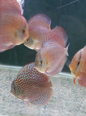 Discus Leopard Snakeskyn Red Spotted/ Leopard Ring paletki