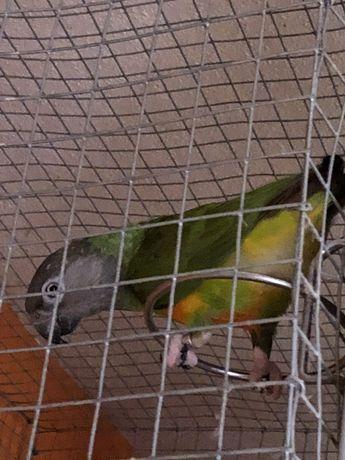 Papagaio do senegal, macho de 2015