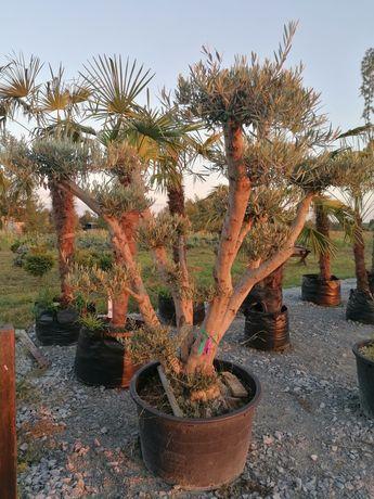 Drzewo oliwne promocja