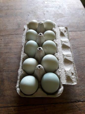 Jaja lęgowe sprzedam