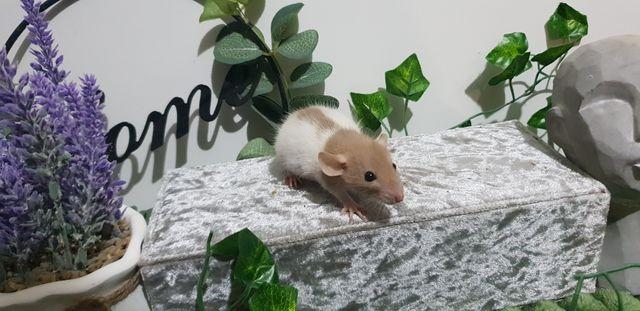 Szczur Szczury Szczurki cudowne maluchy