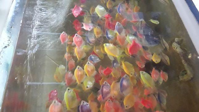 Тернеция гло! Синяя, желтая,оранжевая,розовая,салатовая,мята
