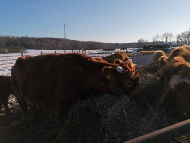 Sprzedam stado krów