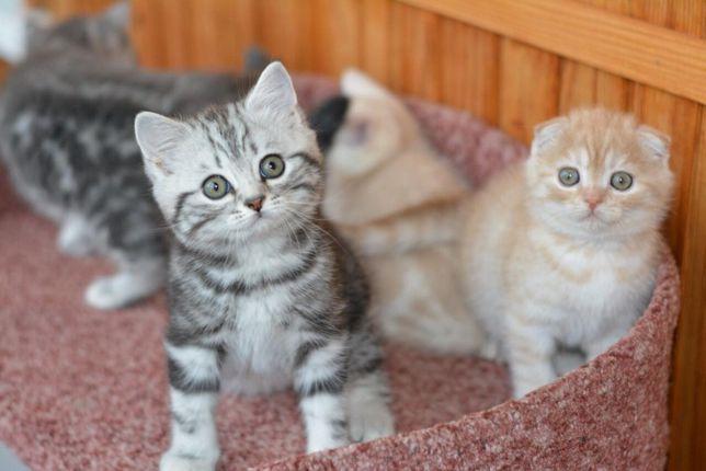 Шотландские котята вислоухие и прямоухие чистокровные плюшевые