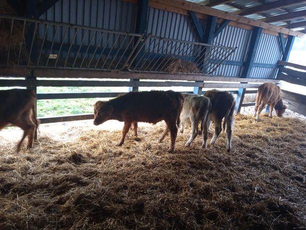 Byczki mięsne samodzielnie