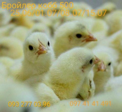 бройлерные цыплята, кобб 500