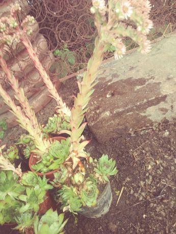 Kaktus. (Rojnik murowy )