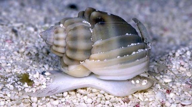 Akwarium morskie - Nassarius sp.