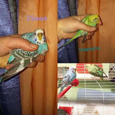 Продам волнистых попугайчиков молодняк..