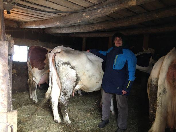 Продад молоду корову, розтеляна третім телям