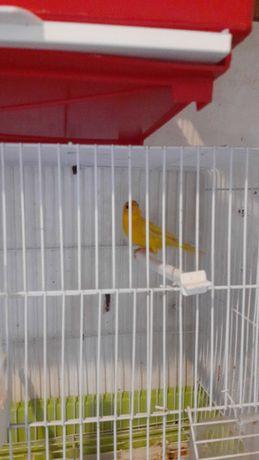 Canario do brasil amarelo intenso mutação
