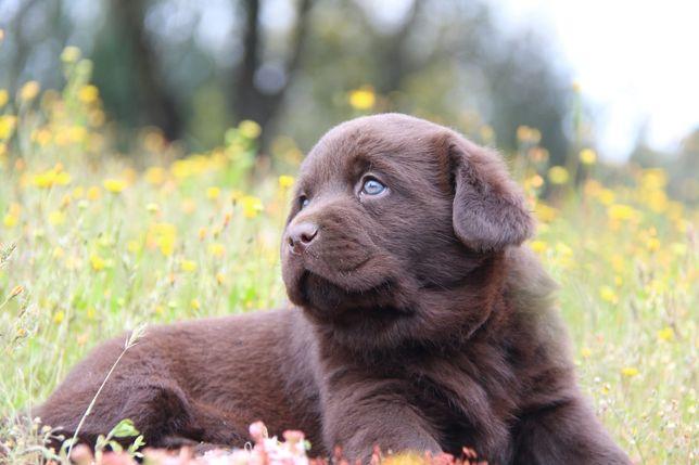 Labrador Com Lop e Afixo