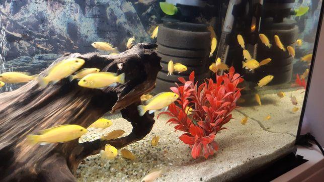 Pyszczaki żółte - Labidochromis caeruleus