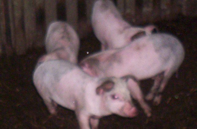 porcos caseiros, leitoes