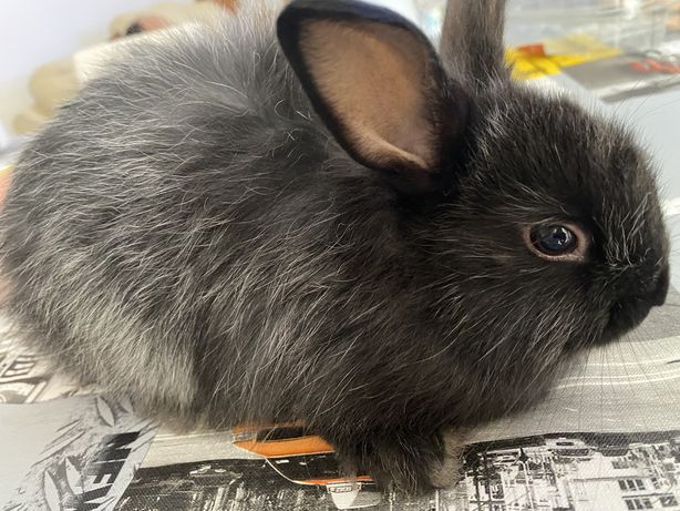 Vendo coelho preto macho