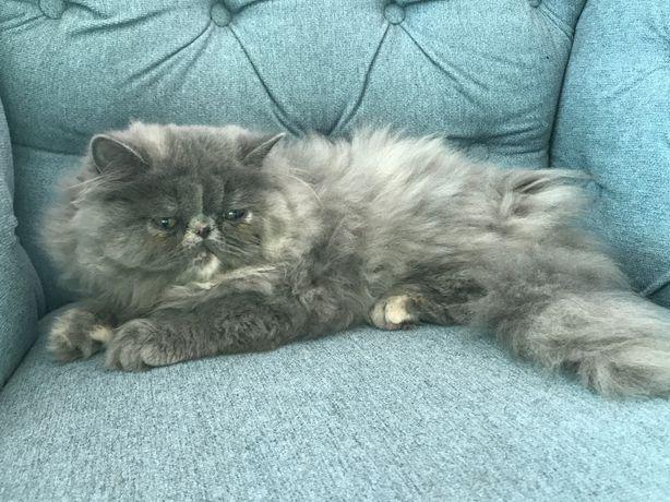 Koteczka perska rodowod FPL