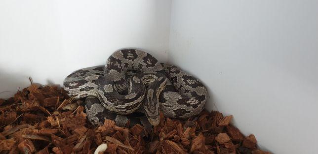 Wąż zbożowy anery wraz z terrarium .