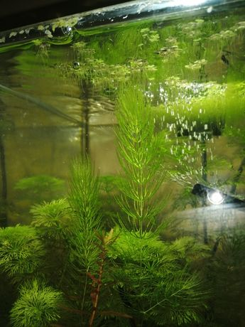 Rogatek, roślina akwariowa