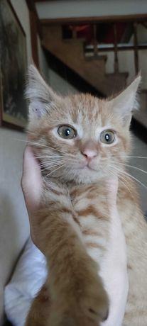 Очень красивая рыжая кошечка. Котенок