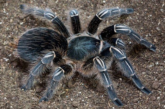 Aphonopelma seemanni Л2-3 павук птахоїд паук птицеед новичку