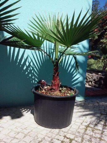 Palmeiras tropicais e sementes