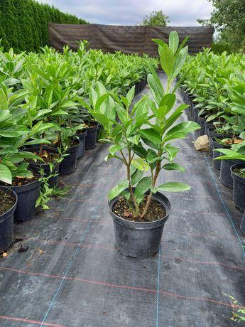 Laurowiśnia (Prunus) Caucasica 40-60cm ( Nowa cena !)