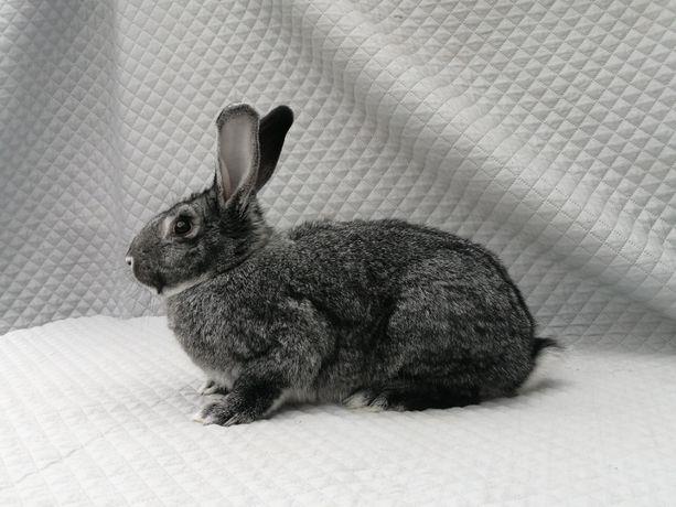 Szynszyle Wielkie króliki- samce i samice/ parki/rodowód