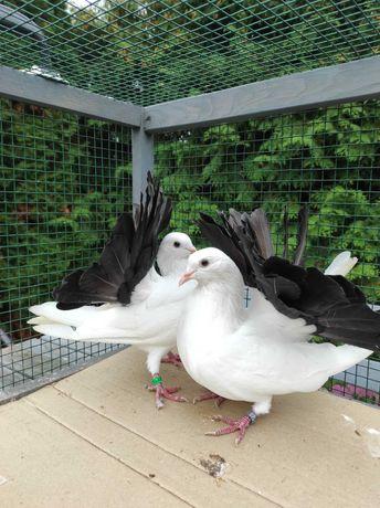 Gołębie ozdobne pawie